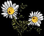 image of chamomile