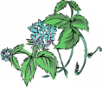 image of mint